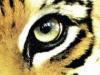 tigers_eye.jpg